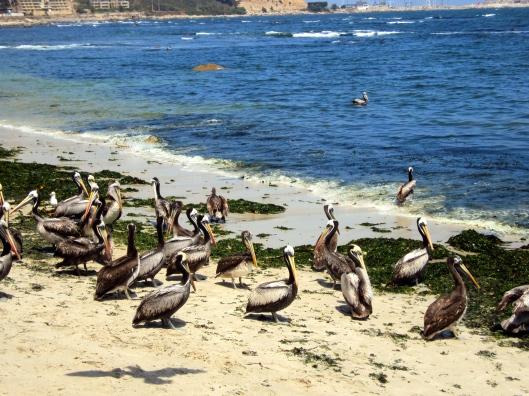 Pelicans outside the pescadería in Algarrobo