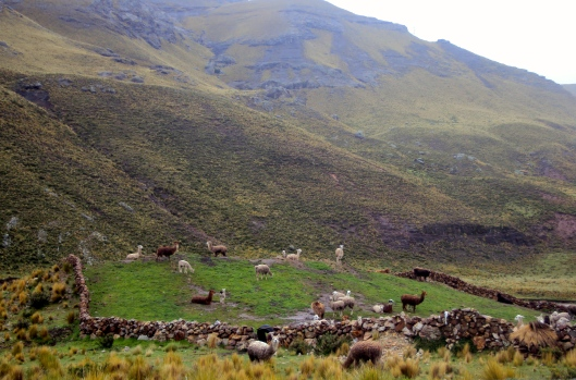 The Peruvian welcoming committee: fields of alpacas.